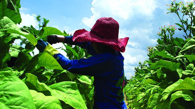 Child tobacco worker photo 1